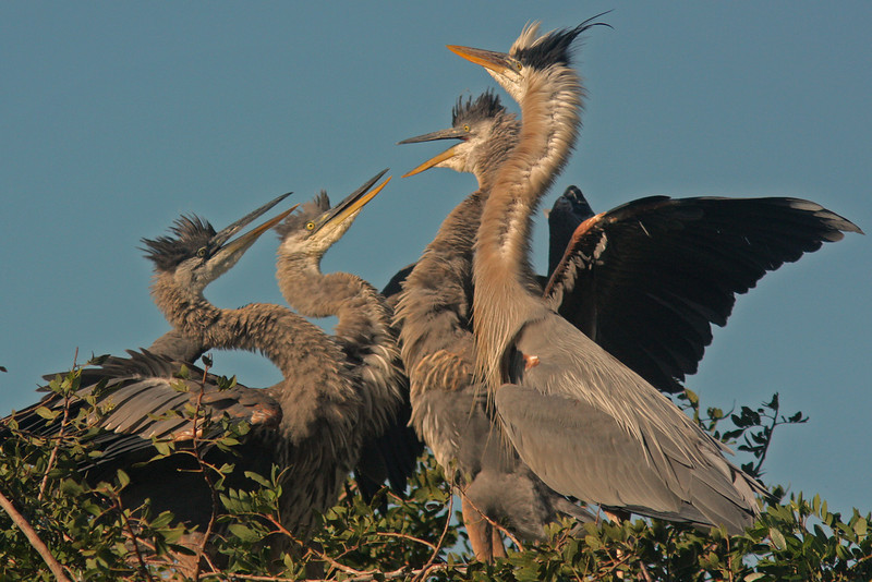 Great Blue Heron and juveniles in nest (Venice Rookery)  Venice Florida