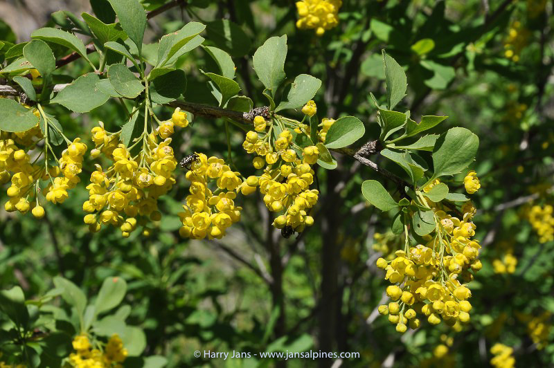 Berberis spec. ?
