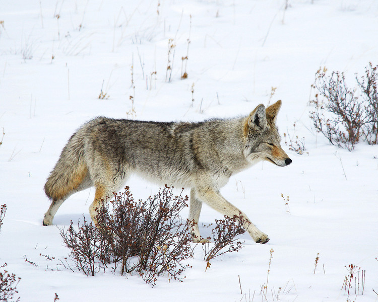 Coyote, Lamar Valley, Yellowstone.jpg