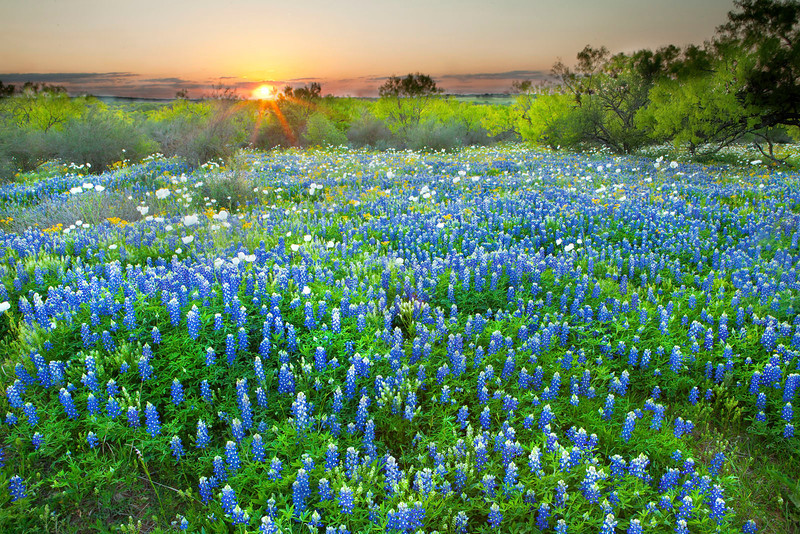 Texas Bluebonnets at sunset