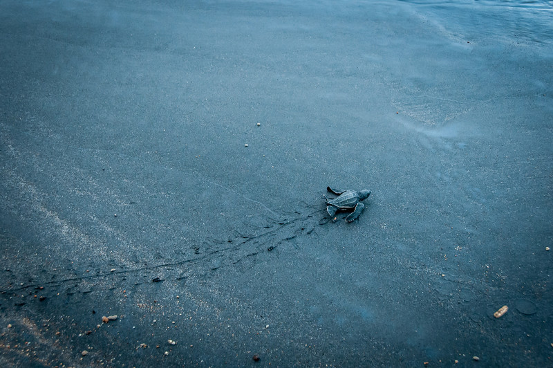 Turtle crawling on the beach of Dominica