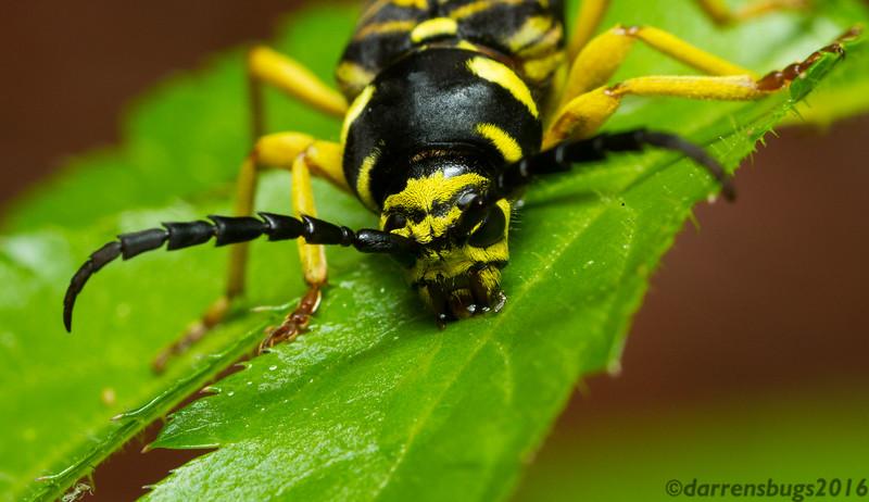 A Sugar Maple Borer, Glycobius speciosus, drinks rainwater off a leaf (Wisconsin, USA).