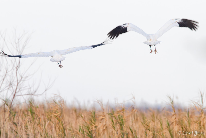20120207-_MG_2636Whooping_Cranes_White_Lake-Edit.jpg