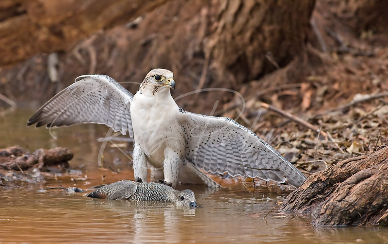 Gyr-Barbary Falcon on a Gadwall Duck