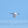 Royal Spoonbill (Platalea leucorodia regia) / Kotuku-ngutupapa, in flight