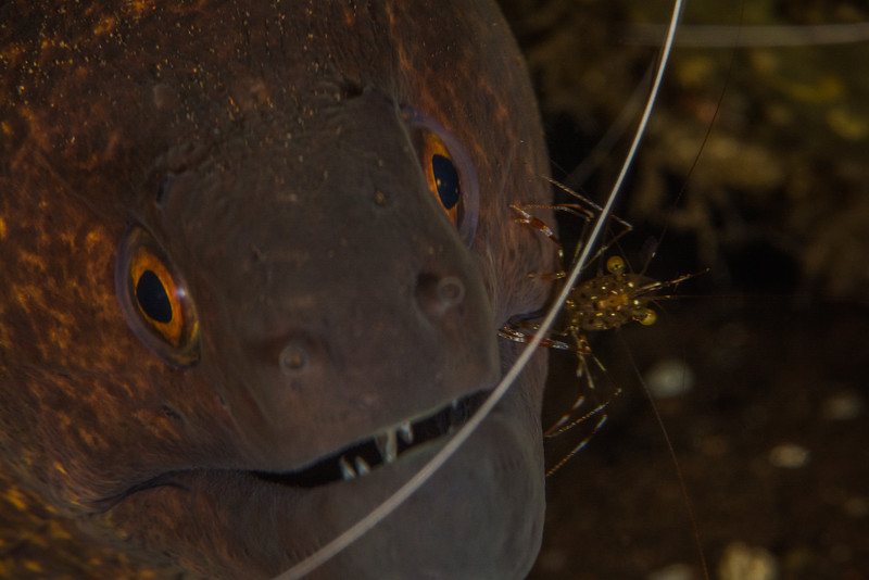 Cleaner Shrimp on a Moray Eel
