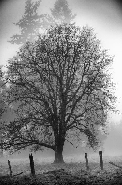 An oak tree in early morning fog. WA
