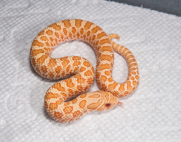 HG17_Albino Male, $100 (hold for Mike Kline)
