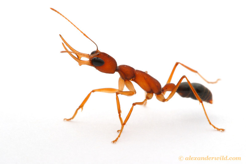 Harpegnathos saltator, the Indian Jumping Ant, is one of the first ants slated to have its genome sequenced.  Laboratory colony at Arizona State University, USA