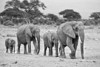 Black and White photograph of a family of elephants walking through the African plains. Photography fine art photo prints print photos photograph photographs image images artwork.