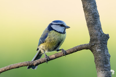 Dawn with a Blue Tit