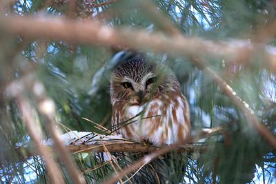 Saw-Whet Owl 2-2017