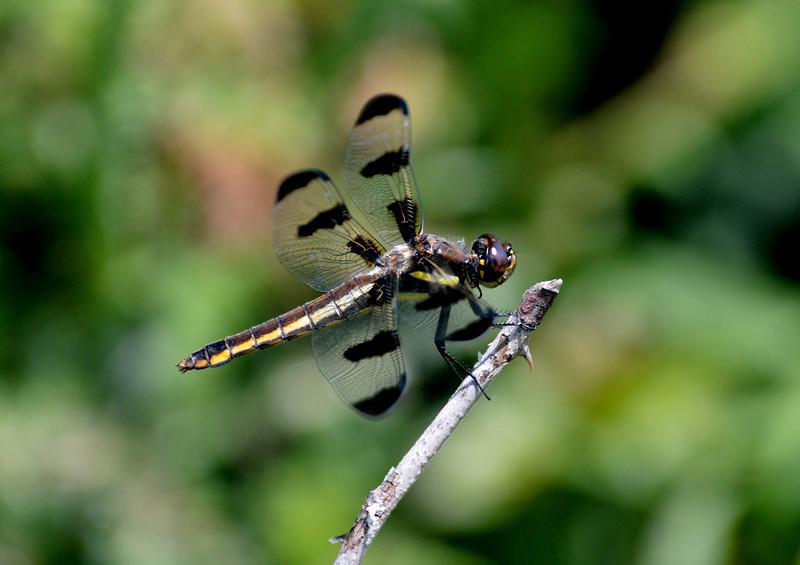 DragonflyJanesvilleWI.jpg