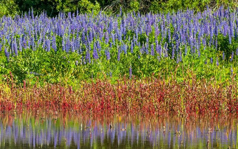 Tahoe Flowers_Lupine-1.jpg