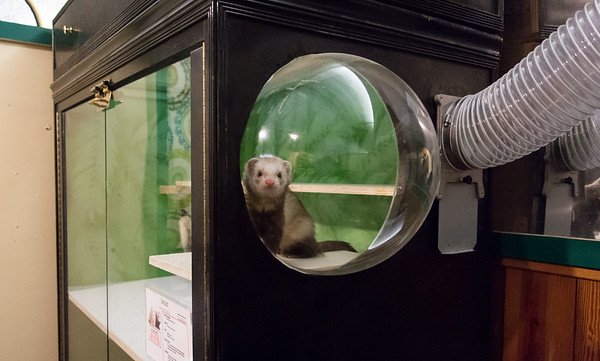 02/01/19 Wesley Bunnell | Staff One of the New Britain Youth Museum's ferrets looks out from a bubble window in his new home. New Executive Director Tom Pascocello has updated many of the museum's exhibits since taking over.