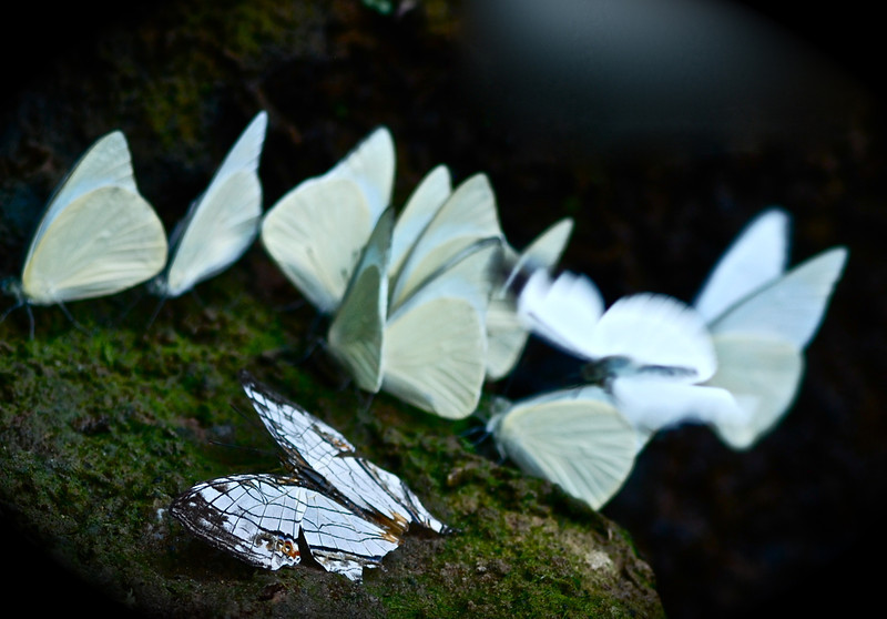 Pieridae Butterflies, I wanted the deceased one in focus and the live ones out of focus as a juxtaposition on life.