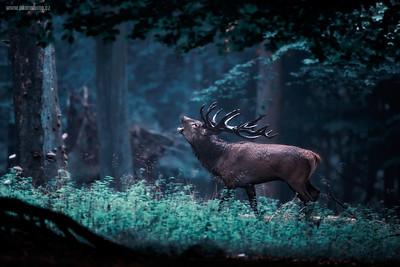 Deer Rut (Denmark) - Jelení říje (Dánsko)