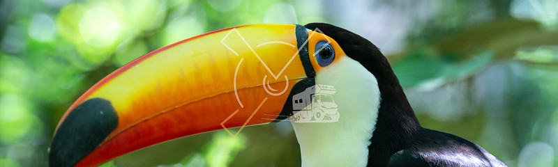 Toco Toucan in rainforest vegetation near the Bolivian side of the Pantanal.