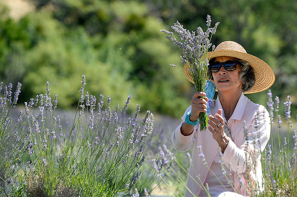 Lavender lures visitors to Vacaville, Suisun Valley