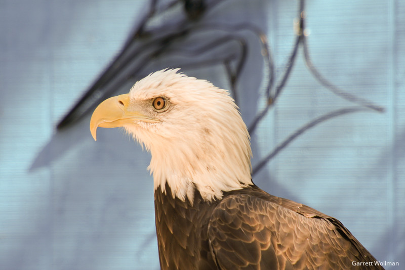Bald Eagle at Stone Zoo