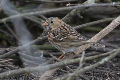 Harris's Sparrow