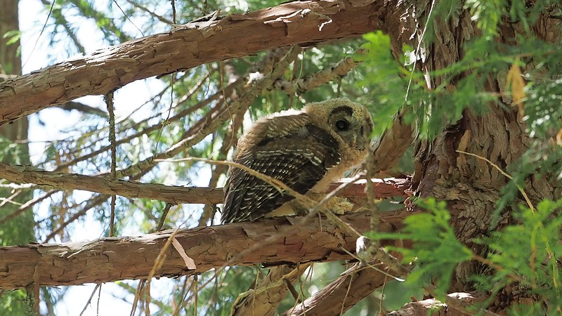 200712-Spotted Owls Butte County-7129817.mp4