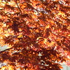 Bloodgood Maple