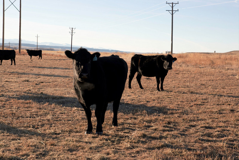 How now the black cow