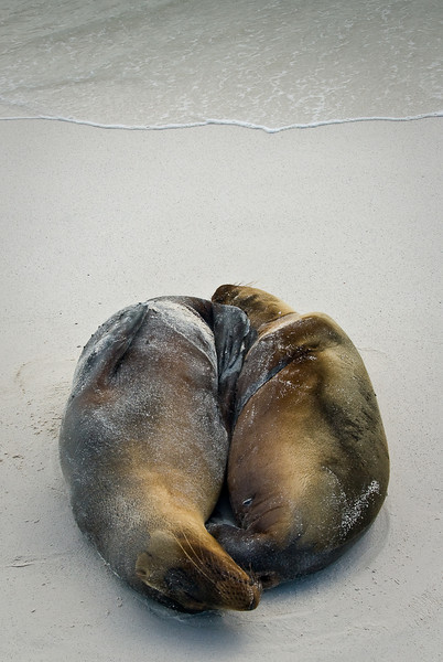 Sea Lions Sleeping, Espanola Island, Gardner Bay, Galapagos, 2007