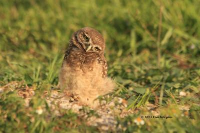 Owls at Brian Piccolo Park