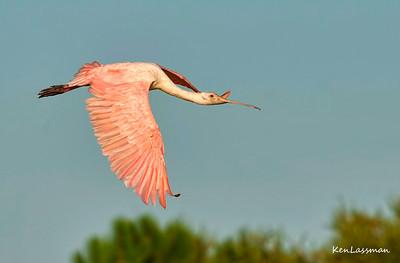 Herons, Ibis, Spoonbills and Storks