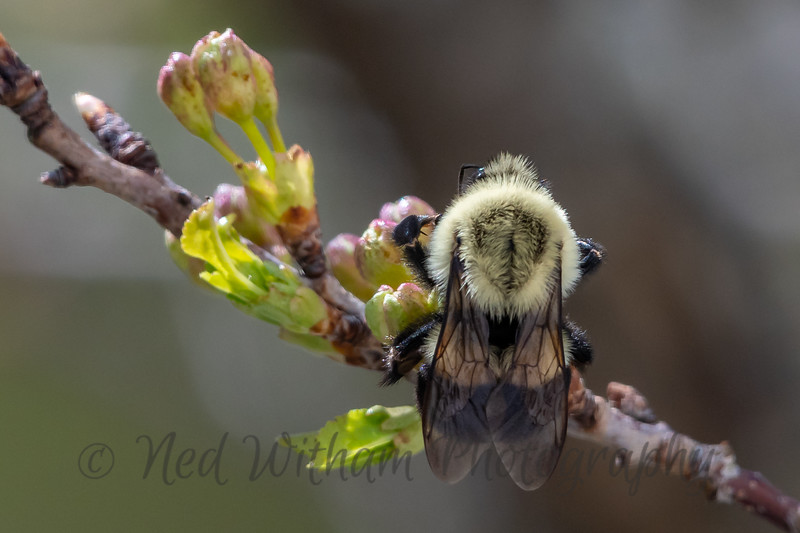 Bumble Bee on flowering cherry