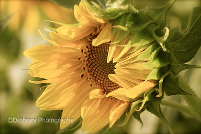 Buttonwood's Sunflowers for Wishes - 2013