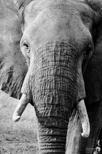 Mono Elephant Portrait