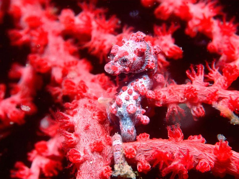 pygmy-seahorse-Sabah-diving.jpg