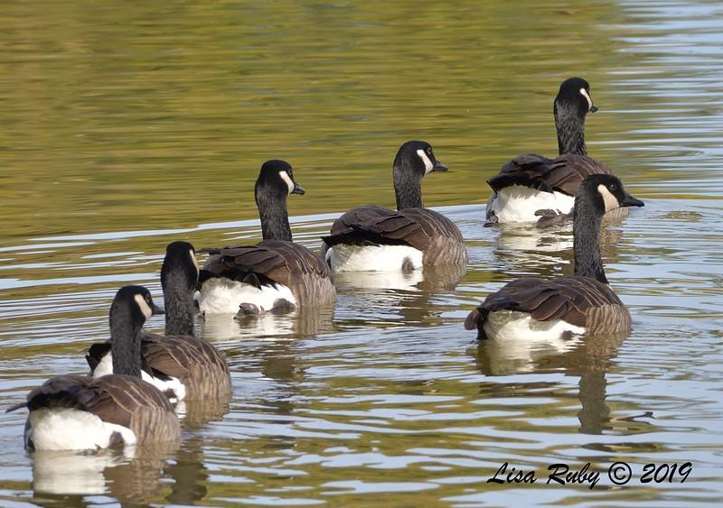 Canada Geese  - 12/01/2019 - Lindo Lake