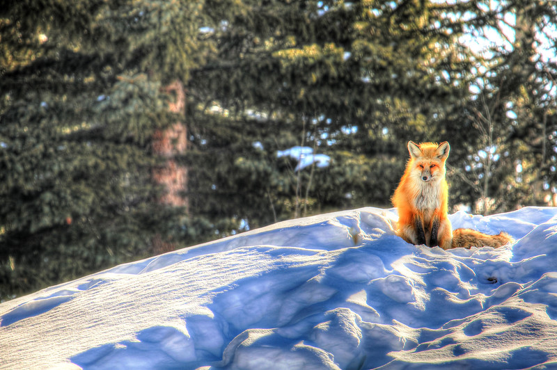 Red Fox Watches