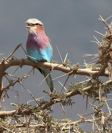 Africa-Lilac-breasted Roller