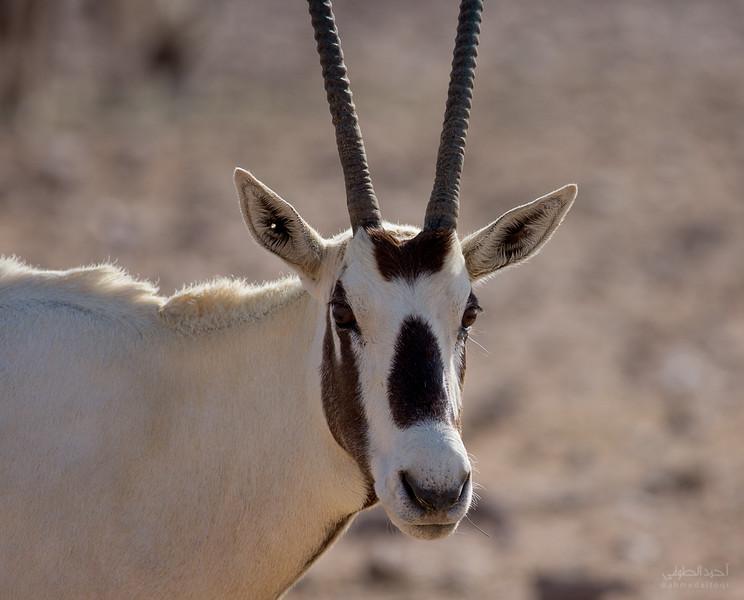 Arabian Oryx (60).jpg