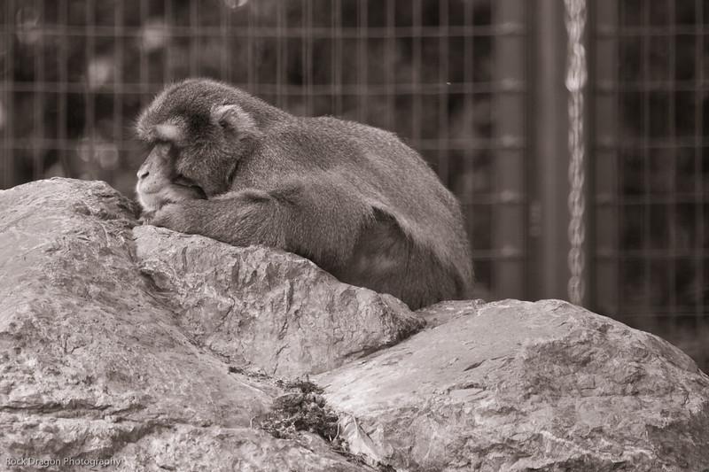 Japanese Macaque, Calgary Zoo, Sept. 30
