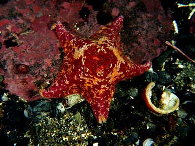 Asterina miniata (bat star)