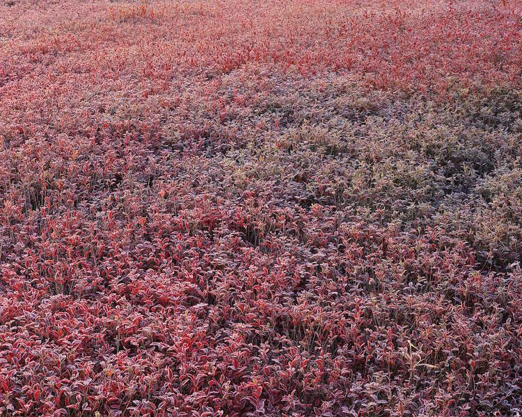 Frost On Low-bush Blueberries