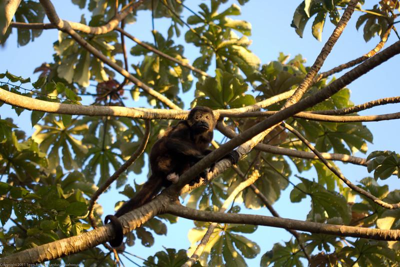 Howler Monkey on Isla Ometepe