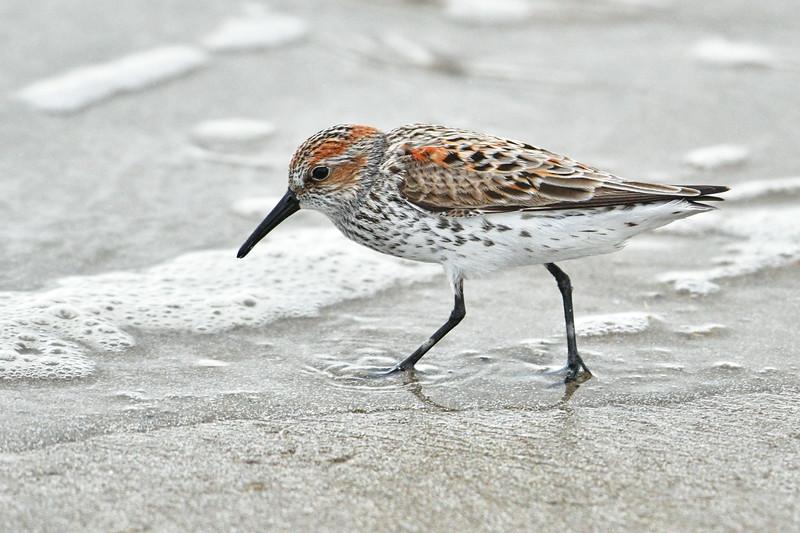 Western Sandpiper (breeding plumage)