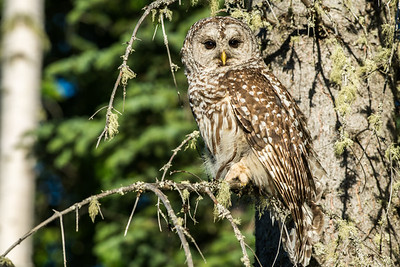 Owl-Barred Owls
