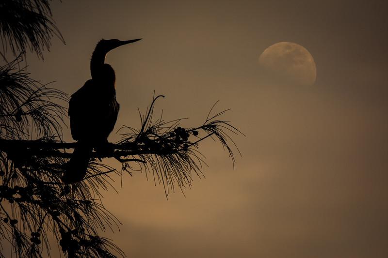 anhinga and moon (1 of 1).jpg