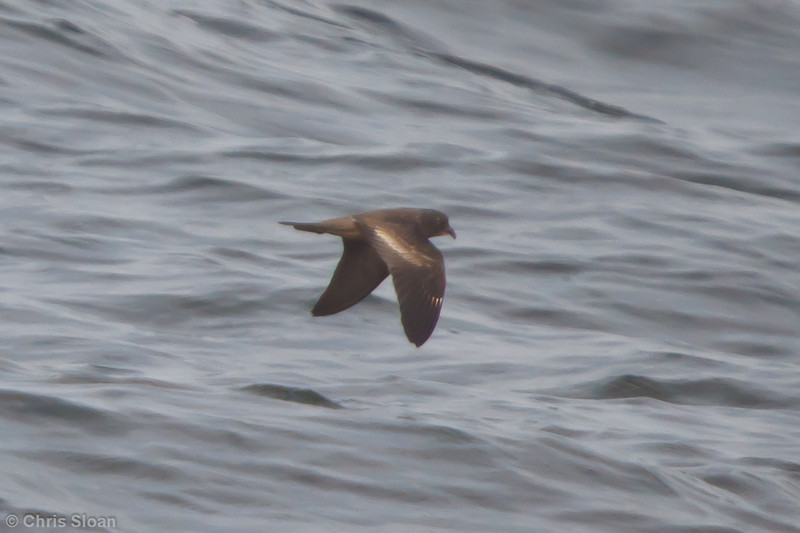 Black Storm-Petrel at pelagic out of Bodega Bay, CA (10-15-2011) - 391.jpg