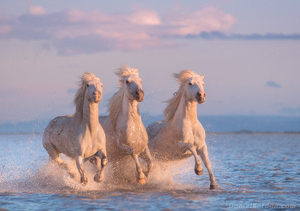 Camargue white angels