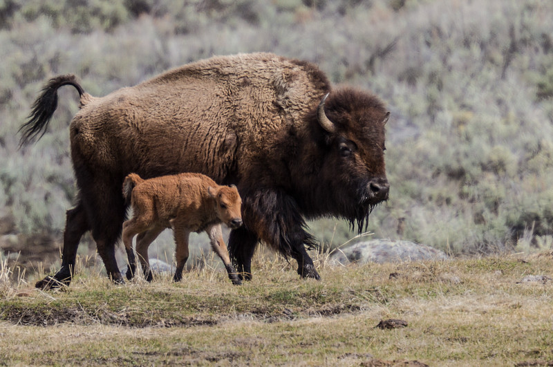 Bison cow calf red dog Yellowstone National Park WY IMG_6659.jpg