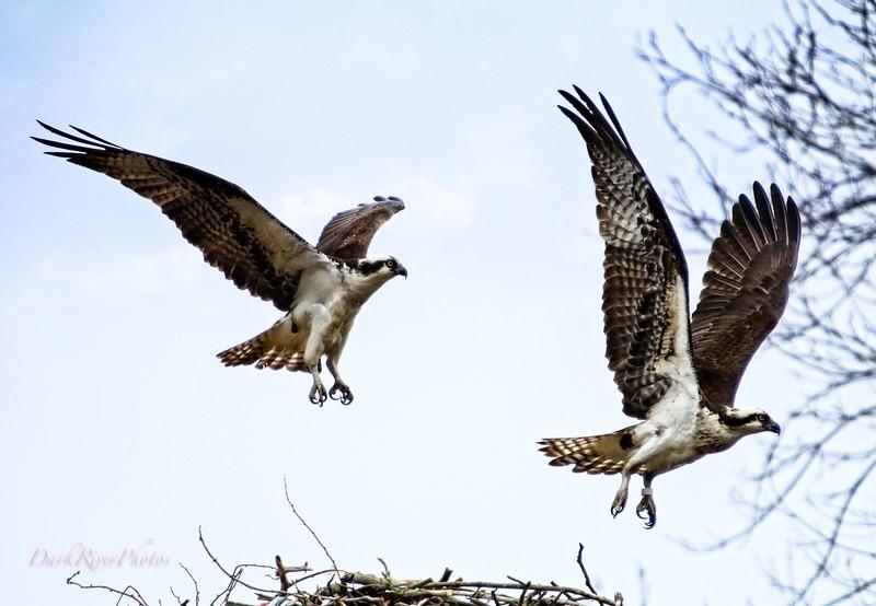 2 Osprey Over Nest  2.jpg